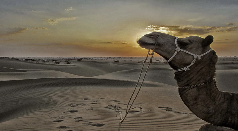camels jaisalmer rajasthan
