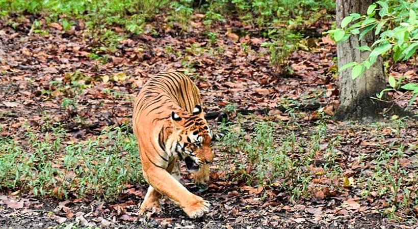 tiger park madhya pradesh