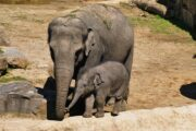 First elephant born in 138 years at Japan's oldest Zoo