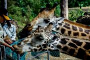 Get up close with the tallest mammals at the Giraffe Centre, Langata, Kenya