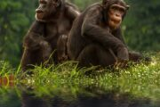 Czech Chimps goes live and wild online through Zoo Zoom