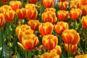 The most famous tulip festival in Kashmir will start on April 3.