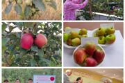 Low-chilling apple variety developed by Himachal farmer spreads far & wide