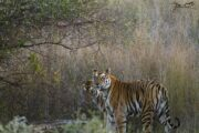 Tigress gives birth to 2 cubs in Panna reserve